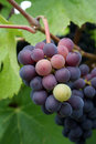 Small Grape Cluster Royalty Free Stock Photo