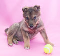 Small gray fluffy puppy wary looks from the bottom up on pink background Royalty Free Stock Photo
