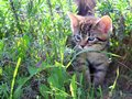 Gatito hierba