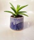 Small Green Aloe Vera Plant In...