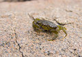 Small green crab Royalty Free Stock Photo