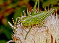 Small green grasshopper. Royalty Free Stock Photo