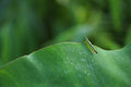 Small green grasshopper on foliage Royalty Free Stock Photo