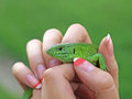 Small green lizard. Stock Photo