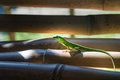 A small green lizard Stock Image