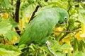 Small Green Parakeet On A Bran...