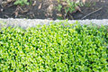 Small green plants close up of at a garden Royalty Free Stock Images