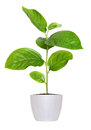 Small green seedling in a flowerpot isolated over white Royalty Free Stock Photo