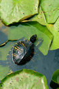 Small green turtle in pond Royalty Free Stock Image