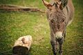 Small grey Donkey Royalty Free Stock Image