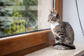 Small grey pet kitten indoor with reflection starring out apartment window Royalty Free Stock Images