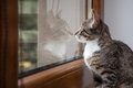 Small grey pet kitten indoor with reflection starring out apartment window Stock Photo