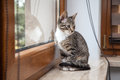 Small grey pet kitten indoor with reflection starring out apartment window Stock Photography