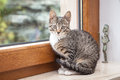 Small grey pet kitten indoor with reflection starring out apartment window Royalty Free Stock Image