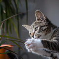 Small grey pet kitten playing indoor apartment Stock Photography
