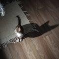 Small grey pet kitten playing indoor apartment Stock Photos