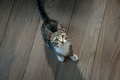 Small grey pet kitten playing indoor apartment Stock Images
