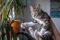 Small grey pet kitten playing indoor apartment Stock Photo