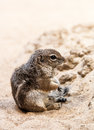 Small ground squirrel sit at sand Royalty Free Stock Photo