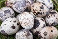 Small group of dappled quail eggs close up shot Stock Photos
