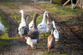 Small group of ducks and geese run across poulty farm Royalty Free Stock Photo