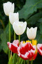 Small group of mixed colour tulips tulip flowers against a foliage background location eden project carnwall uk Royalty Free Stock Photo