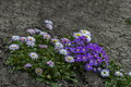 Small group of purple Primrose or  Primula vulgaris and white  daisies bloom Royalty Free Stock Photo