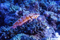 Small grouper in the coral reef a sitting for rest Stock Image