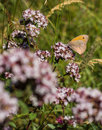Small Heath feeding on nectar Royalty Free Stock Photo