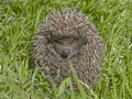 Small hedgehog in a grass Royalty Free Stock Photo