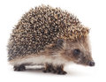 Small hedgehog. Royalty Free Stock Photo