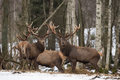 Small Herd Of Red Deer Cervidae : Two Deer Stag,Looks At You. Several Beautiful Adult Deer Cervus Elaphus In Winter Time. Wi Royalty Free Stock Photo