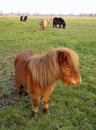 Small herd shetland ponies out field winter grazing size size shetlands strongest equine breed extremely hardy Royalty Free Stock Photography