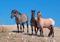 Small Herd of Wild Horses on Sykes Ridge in the Pryor Mountains Wild Horse Range in Montana Royalty Free Stock Photo