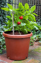 Small hot pepper plant red growing in container with red green fruit Stock Photos