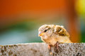 Small house sparrow passer domesticus bird on fence funny young nestling chick baby yellow beaked sitting Stock Image