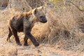 Small hyena pup playing walking outside its den in early morning sun Royalty Free Stock Images