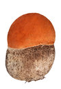 Small isolated leccinum orange cap boletus on white background Stock Photography