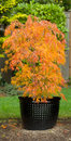 Small Japanese Maple in Pot during Autumn Season Royalty Free Stock Photo
