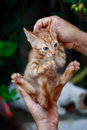 A small kitten held by a man`s hand ! Royalty Free Stock Photo