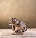 Small kitten sitting on wooden floor old scratching Stock Photos