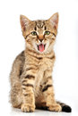 Small kitten yawning with open mouth studio shot Stock Photo