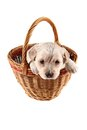 Small labrador in the basket Stock Images