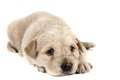 Small labrador dog Stock Photo