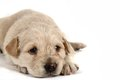 Small labrador dog isolated on the white backgroudn Stock Photo