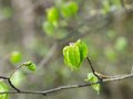 Small-leaved Lime Royalty Free Stock Photo