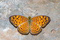 Small leopard butterfly close up of the phalanta alcippe perching on the floor Royalty Free Stock Images