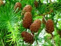Small light brown pine cones on twigs and bright green pine needles Royalty Free Stock Photo