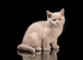 Small lilac british kitten on black Stock Photography