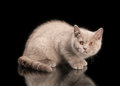 Small lilac british kitten on black background Royalty Free Stock Images